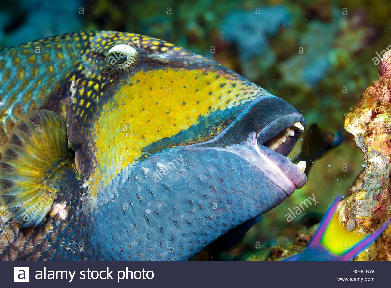 Titan triggerfish (Balistoides viridescens), portrait, Ari Atoll, Maledive islands - Stock Image