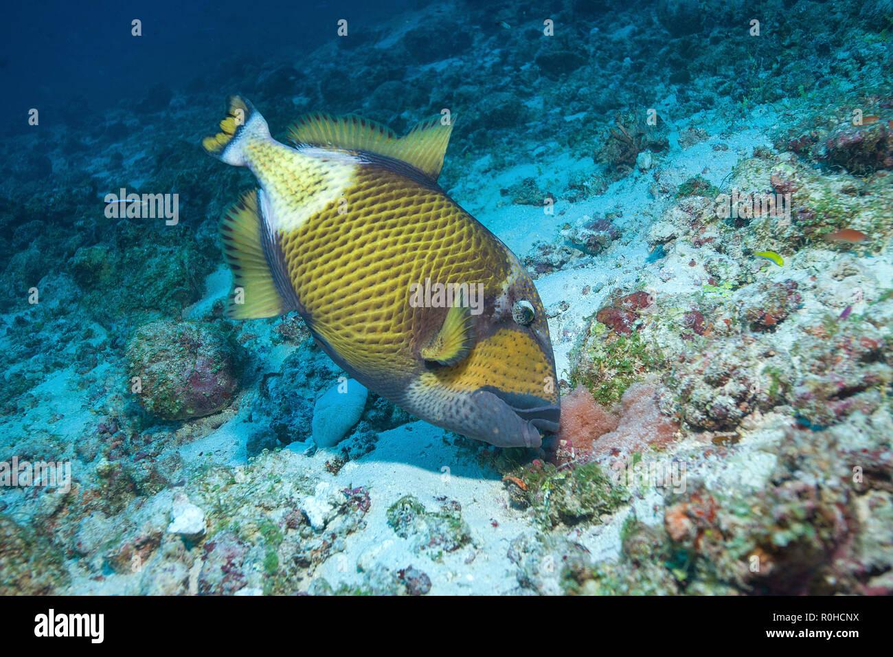 Titan triggerfish (Balistoides viridescens) at a coral reef, Ari Atoll, Maledive islands - Stock Image