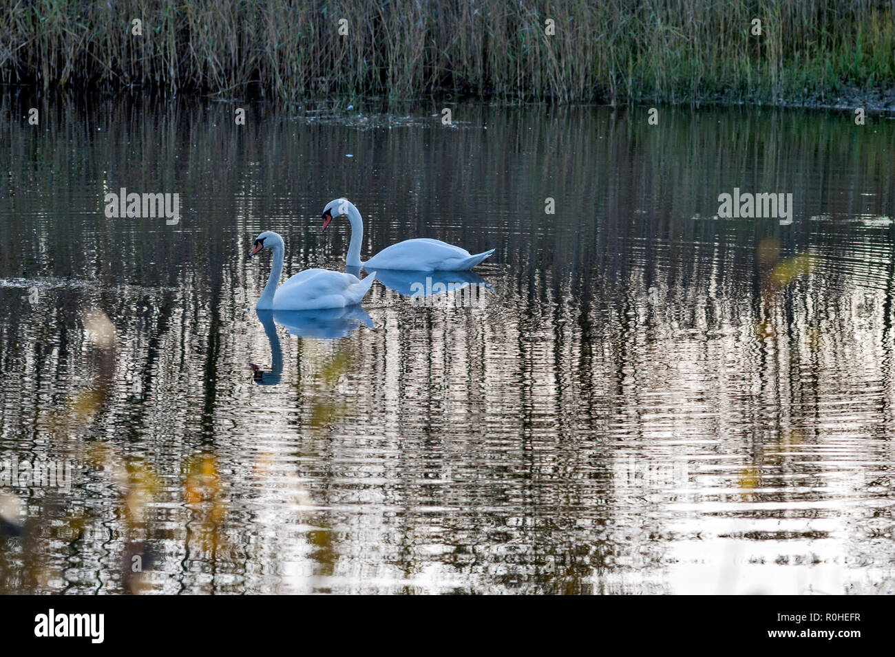 Two mute swans, Cygnus olor on a lake, late afternoon with reflections in the water. Stock Photo