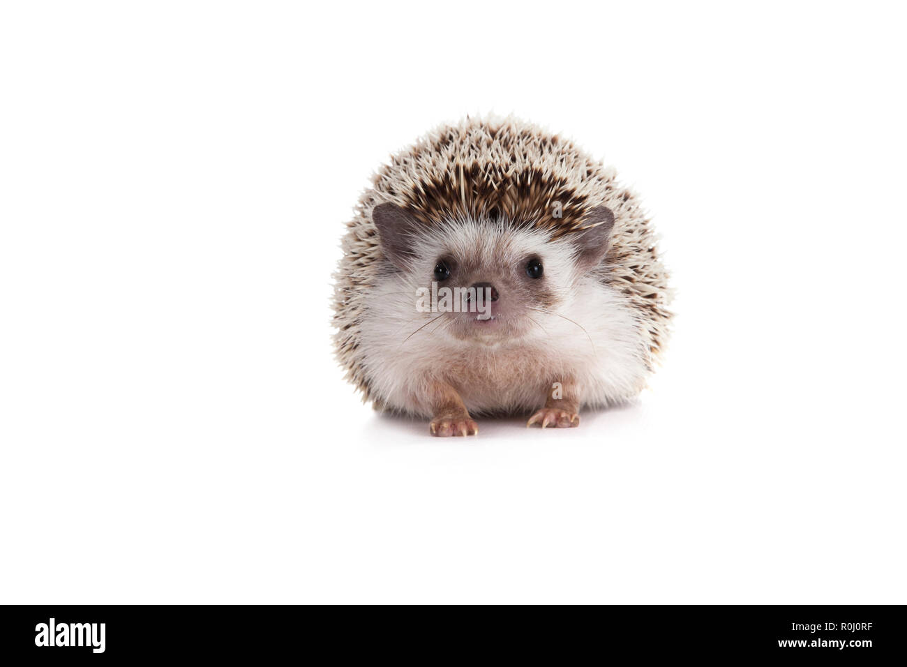 Pygm hedgehog, - Stock Image