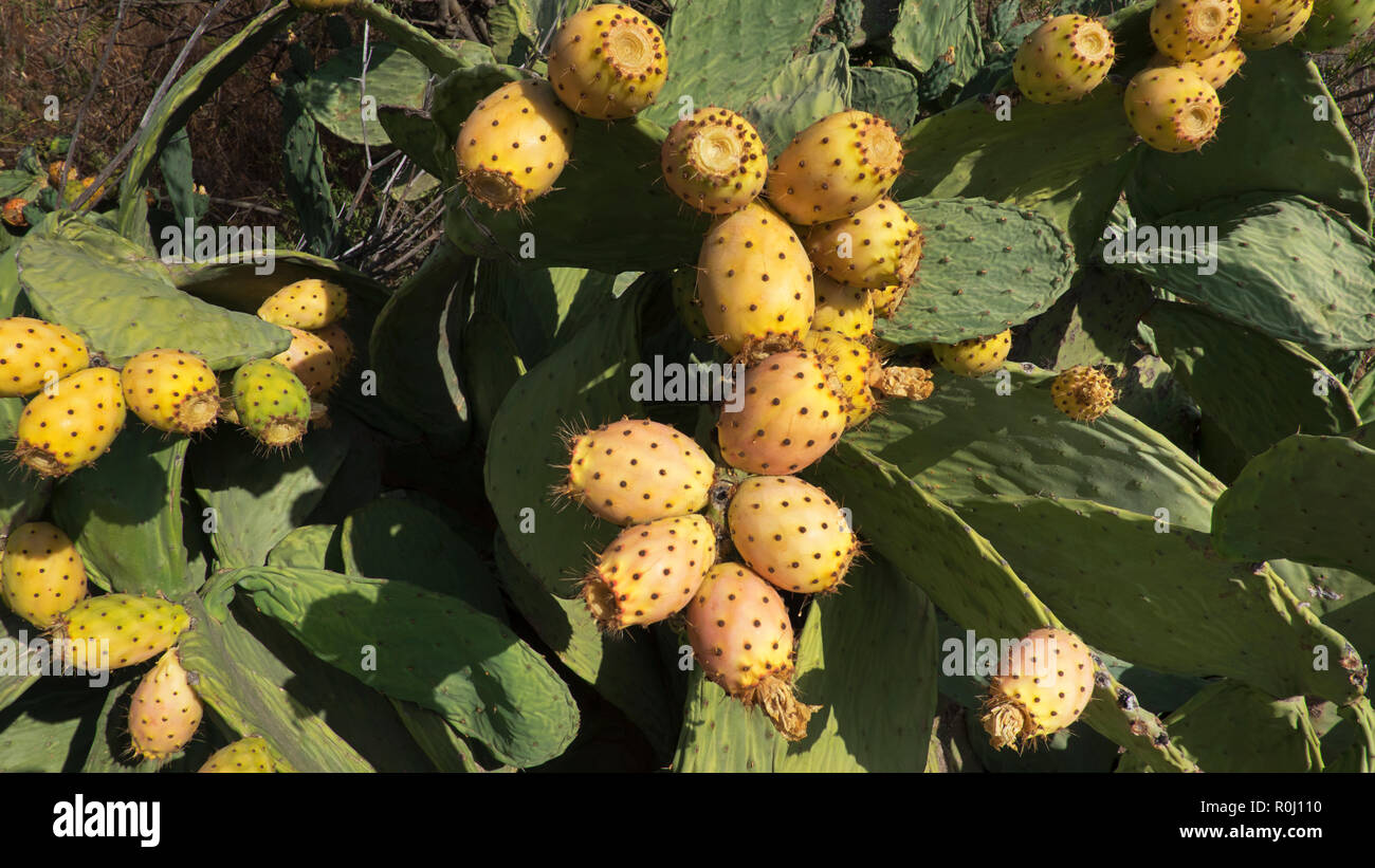 The edible fruit known as prickly pear or cactus fruit of Opuntia ficus-indica a common cactus growing naturally in the dry, arid soil of Tenerife - Stock Image