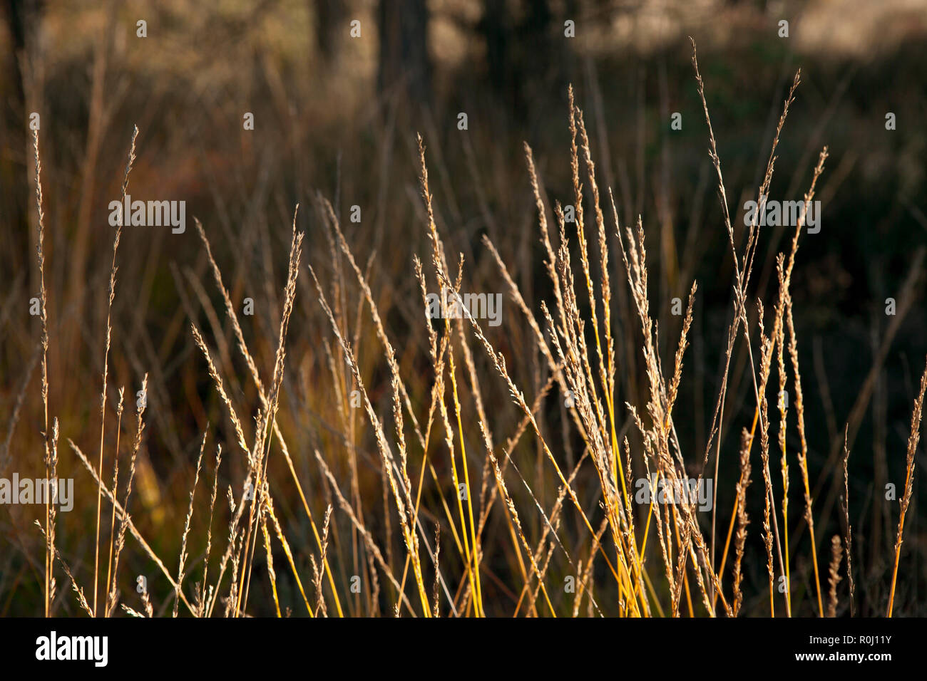 Long grass in late afternoon sun, golden natural colours with blurred background. - Stock Image