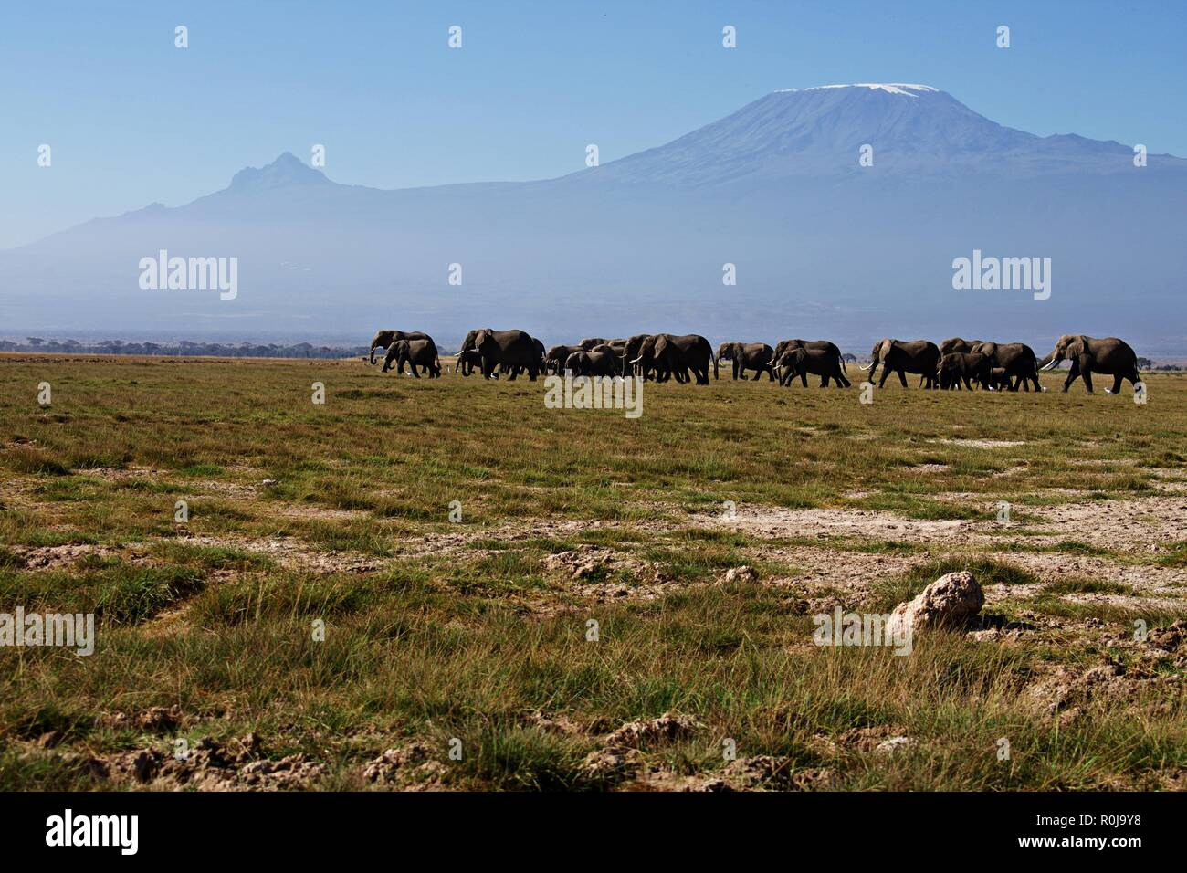 Stunning view of Elephant Herd grazing at Amboseli national park ,KIlimajaro mountain on background, Blue clear sky. - Stock Image