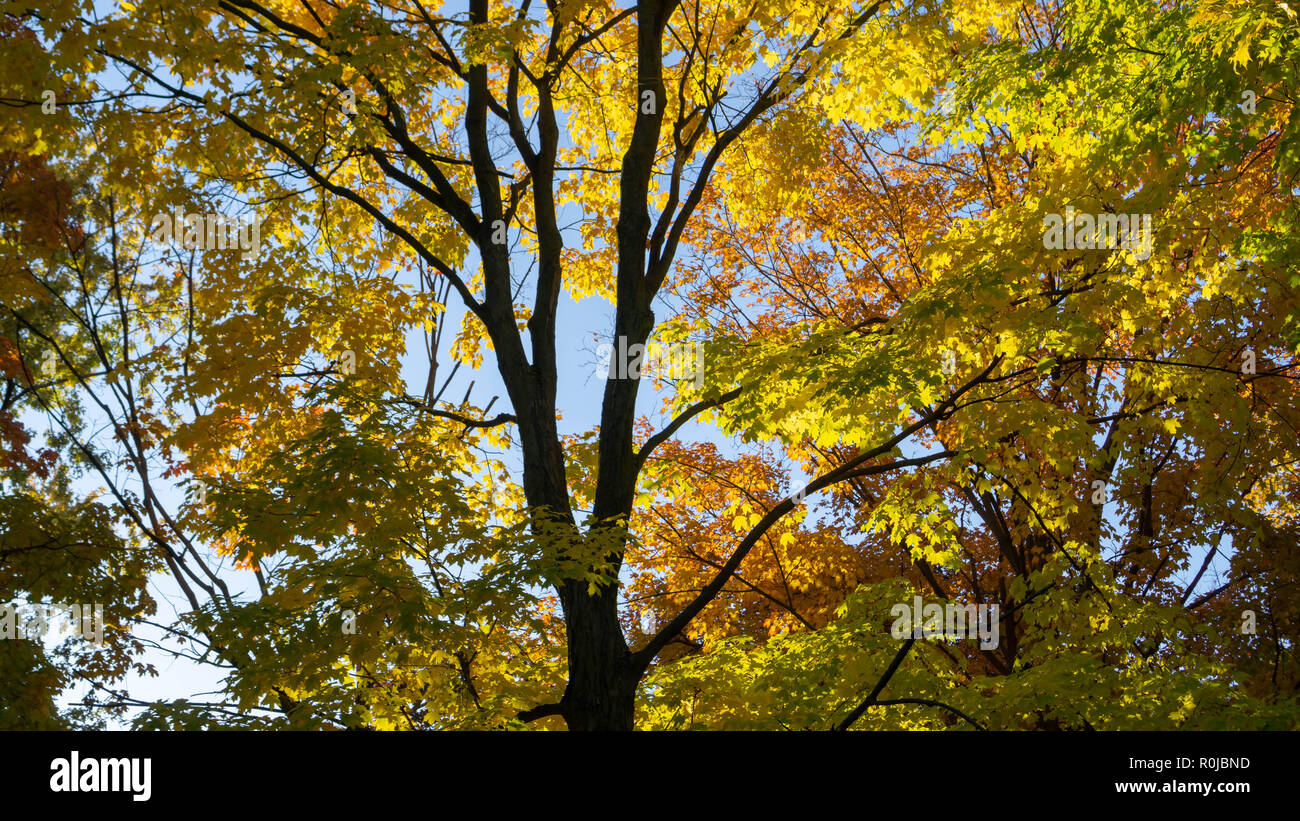 Sun illuminating golden leaves of a maple tree. Taken during the fall in downtown Toronto while testing my new camera on this sunny early afternoon. - Stock Image