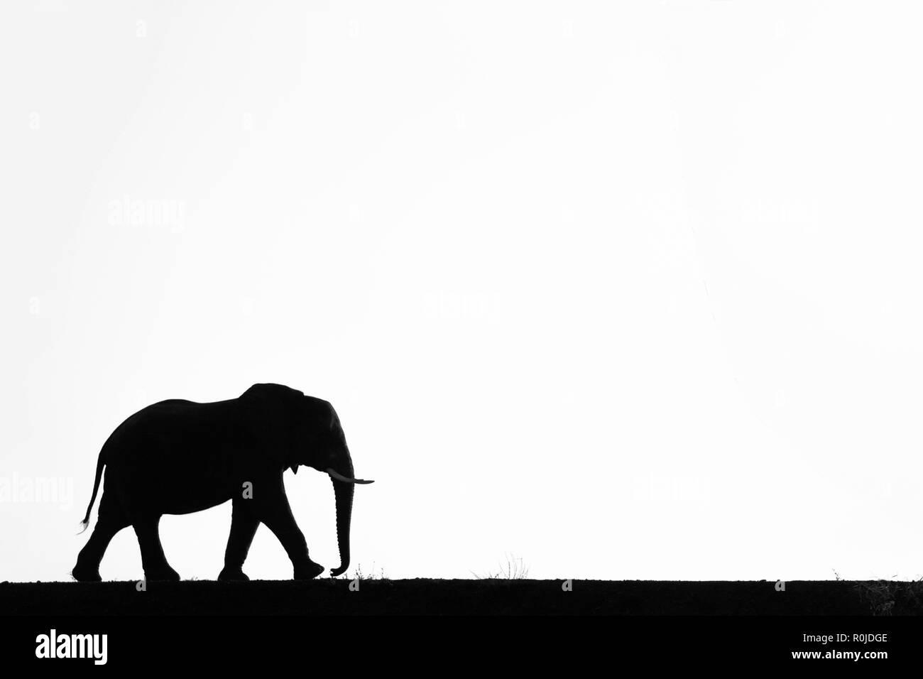 Elephant (Loxodonta africana) silhouette, Zimanga private game reserve, KwaZulu-Natal, South Africa Stock Photo