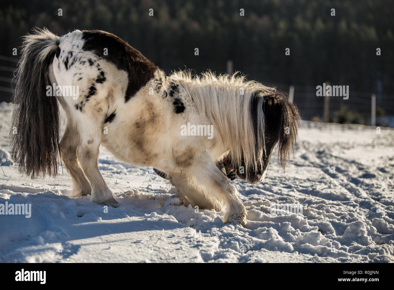 Black and white pony bowing in the snow - Stock Image