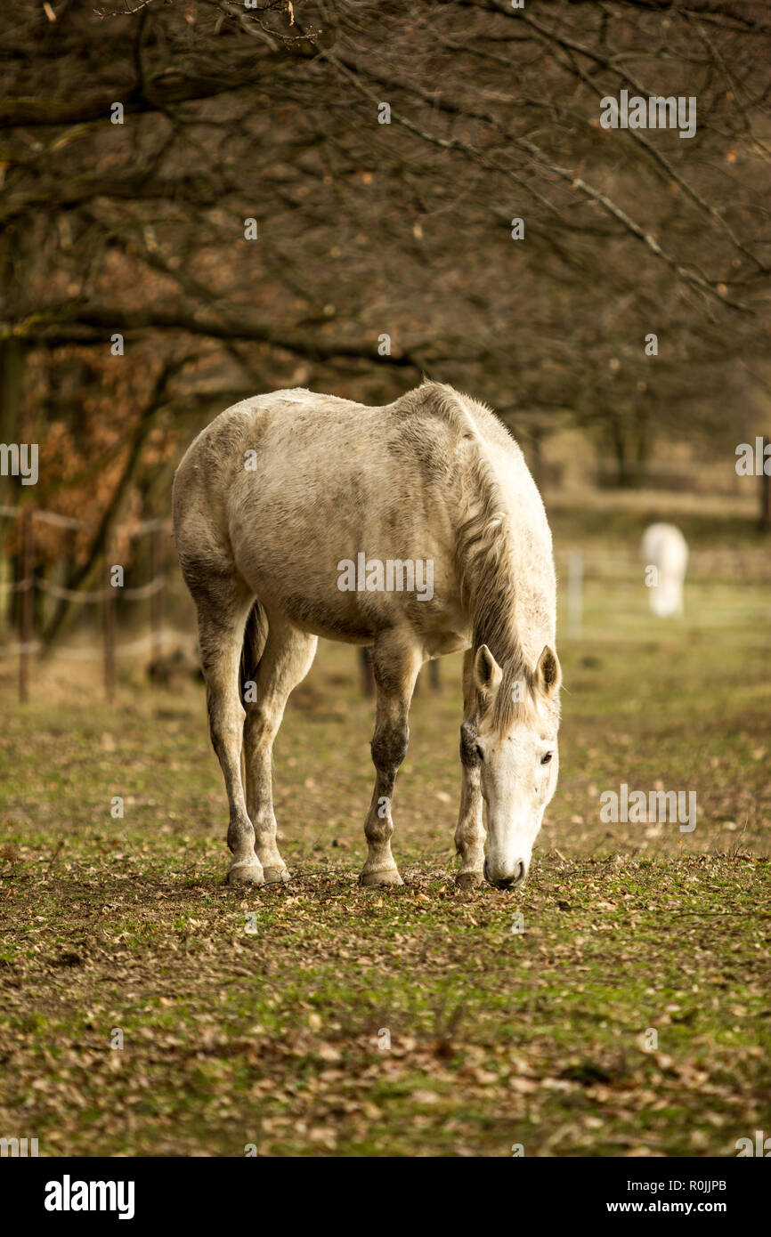 Dirty white horse grazing on pasture - Stock Image