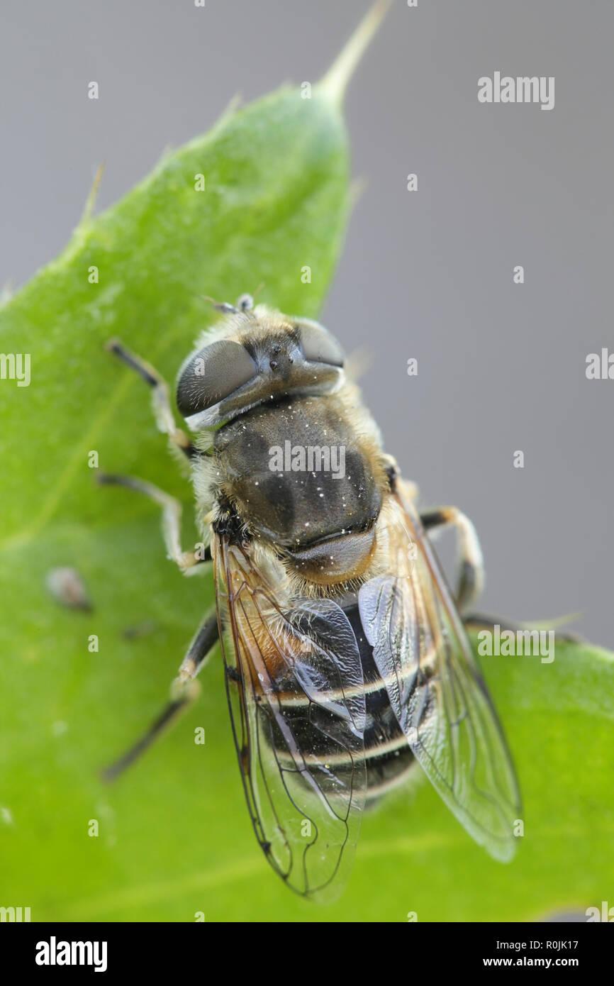 Plain-faced dronefly, Eristalis arbustorum, an important pollinator - Stock Image