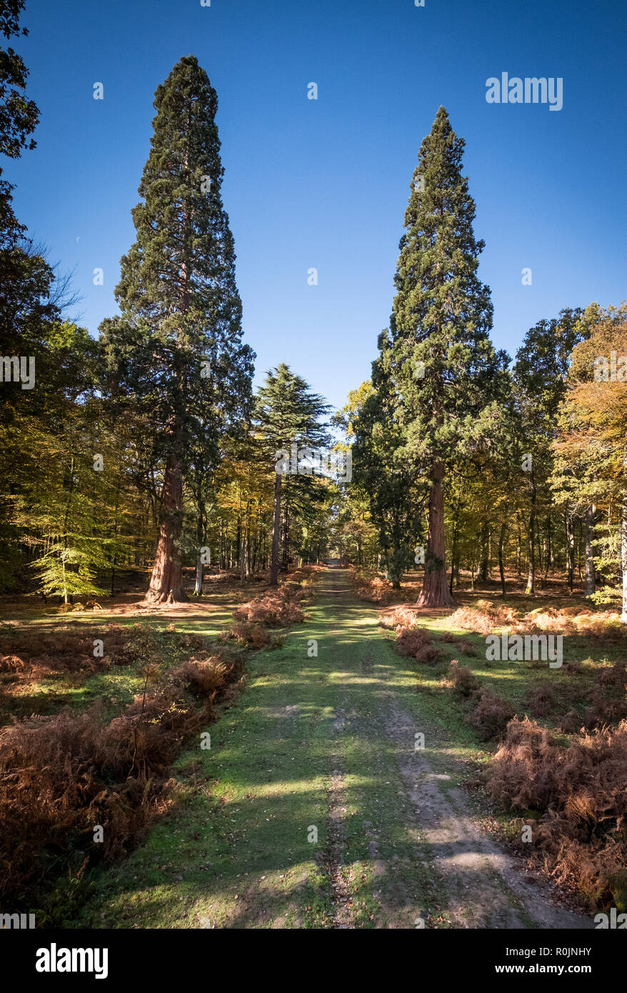 Tall Trees Trail at Rhinefield Ornamental Drive, New Forest, Hampshire - Stock Image