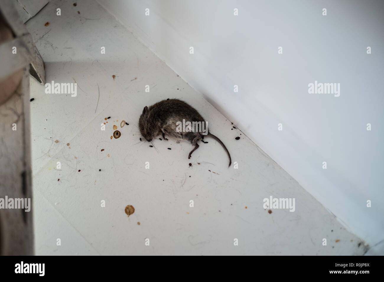 Dead mouse on the floor after eating poison Stock Photo