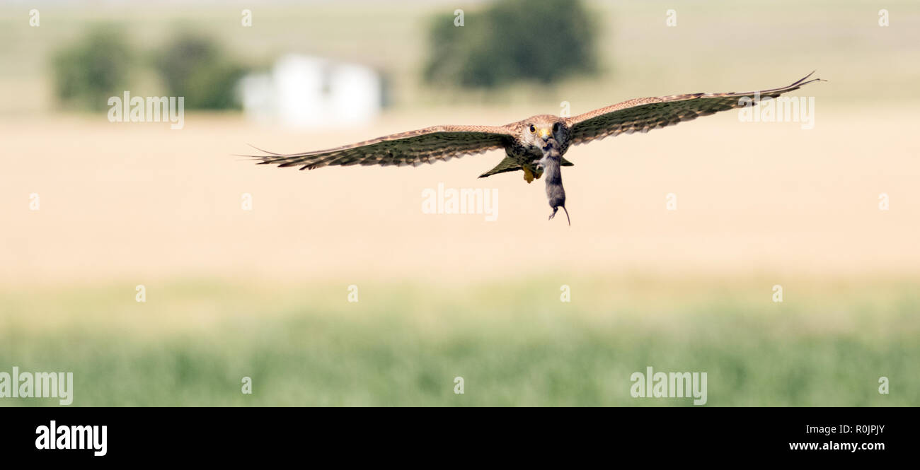 Kestrel in flight carrying a mouse - Stock Image