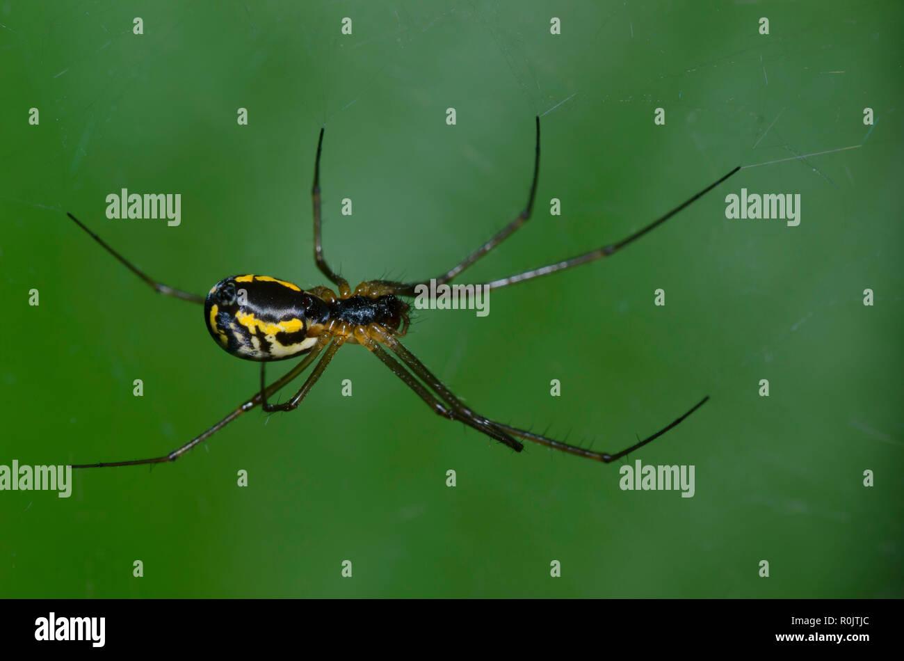 Sheetweb Spider, Subfamily Linyphiinae Stock Photo