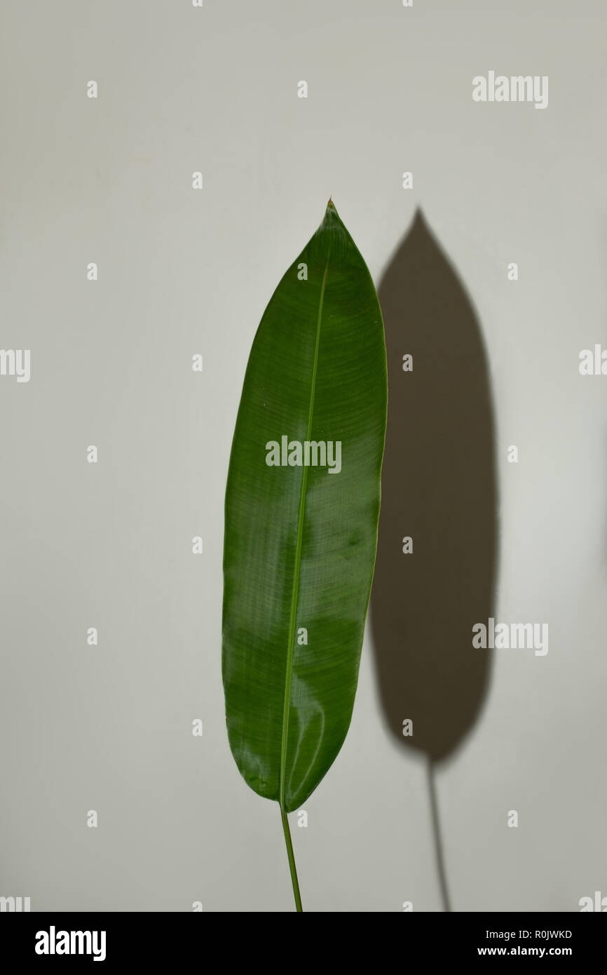 big green Leaf exotic plant artistic design isolated with a shadow on the wall Stock Photo