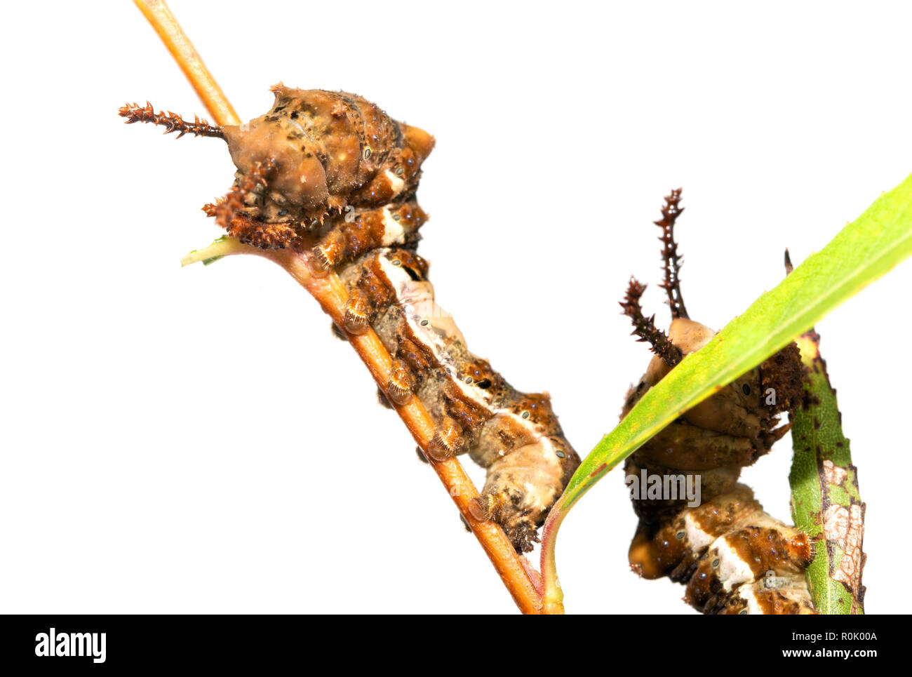 Fifth instar of Viceroy butterfly caterpillar, with spiny horns, resting on a Willow twig, with another behind it eating a leaf - Stock Image