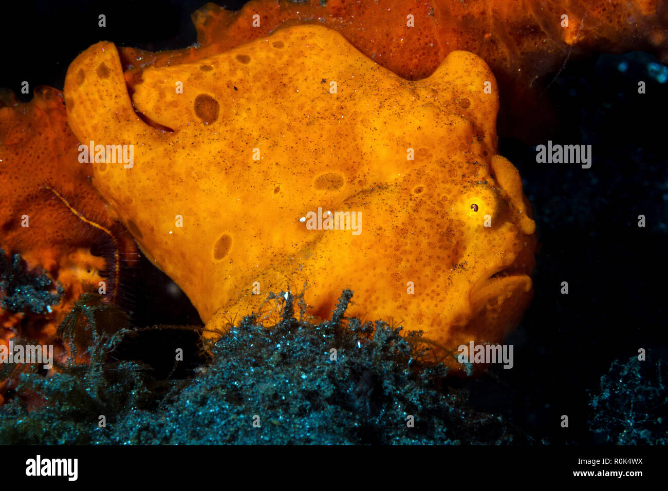 An orange ocellated frogfish, Lembeh Strait, Indonesia. - Stock Image