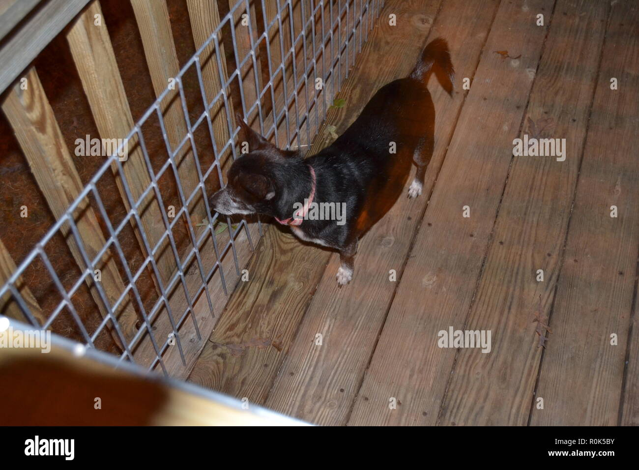 Black Jack Russell looking into the night listening to a noise ready to protect his home. - Stock Image