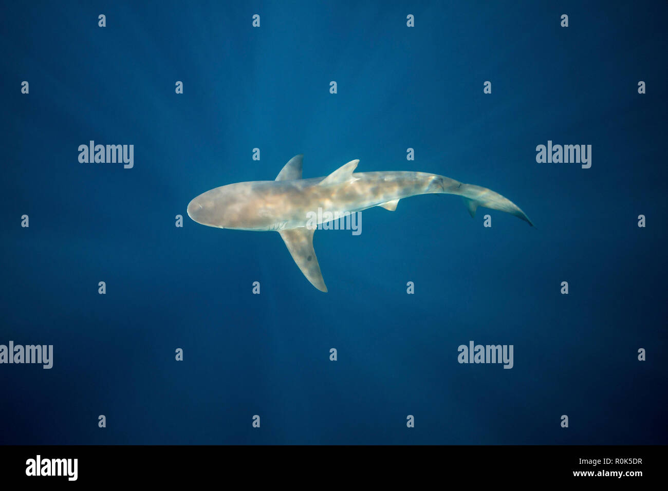 A dusky shark in the blue waters of South Africa. - Stock Image
