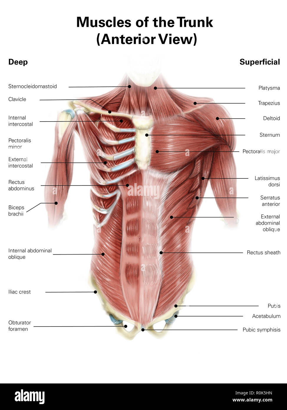 Tremendous Digital Illustration Of Muscles Of The Human Torso Anterior View Wiring Cloud Oideiuggs Outletorg