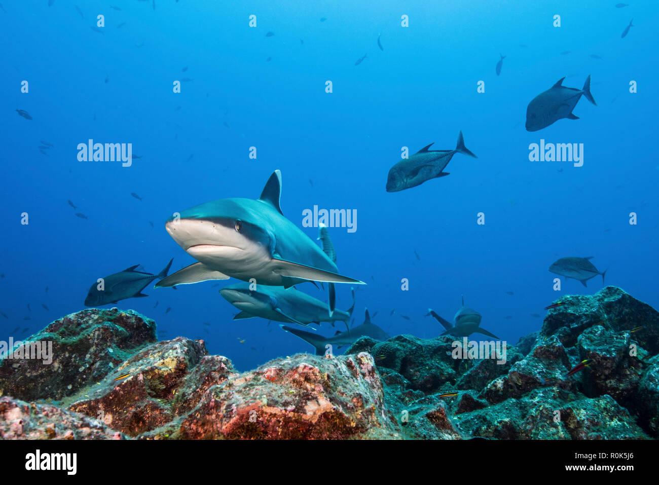 A school of silvertip sharks, Socorro Island, Mexico. - Stock Image