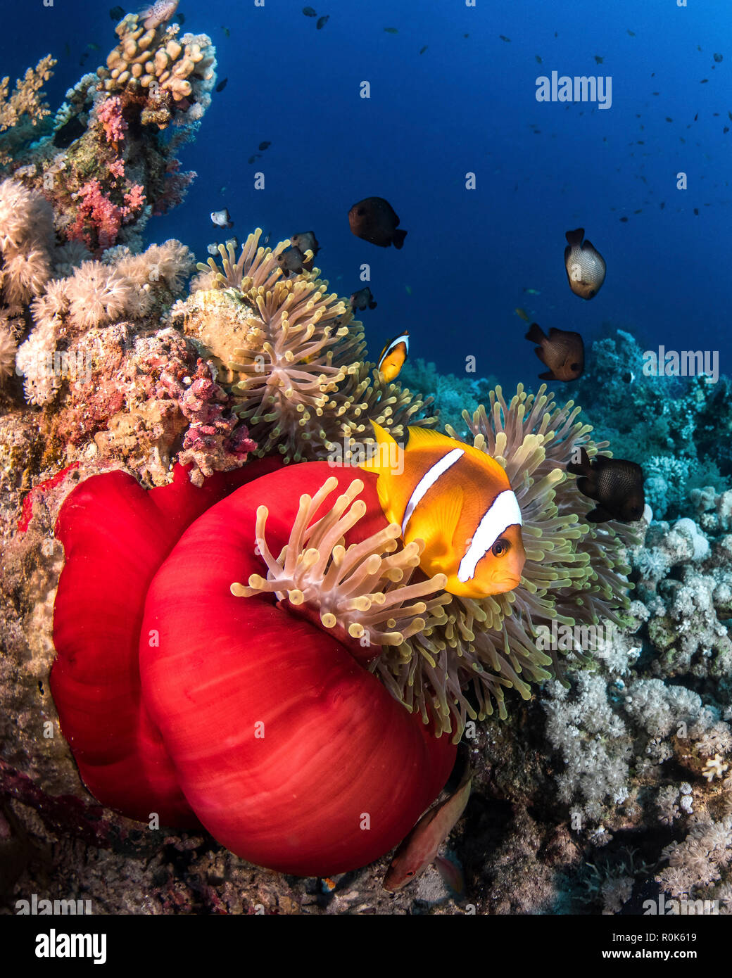 The anemones in the Red Sea have beautiful Red Skirts. - Stock Image