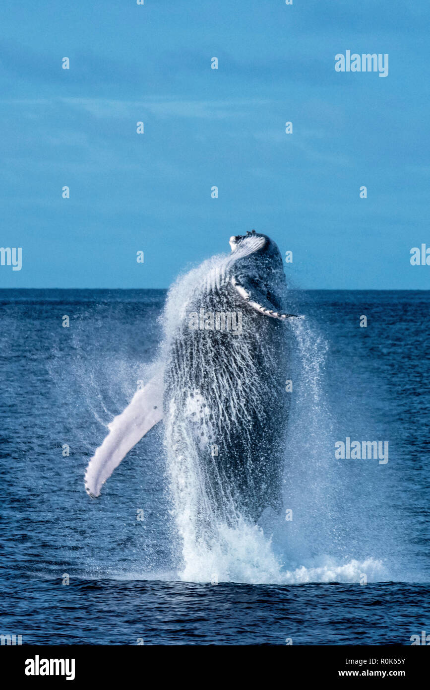 A humpback whale breaches completely out of the water. - Stock Image