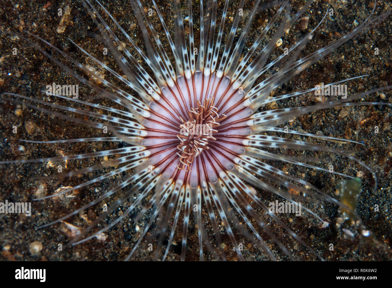 A colorful Cerianthid tube-dwelling anemone spreads its tentacles. - Stock Image
