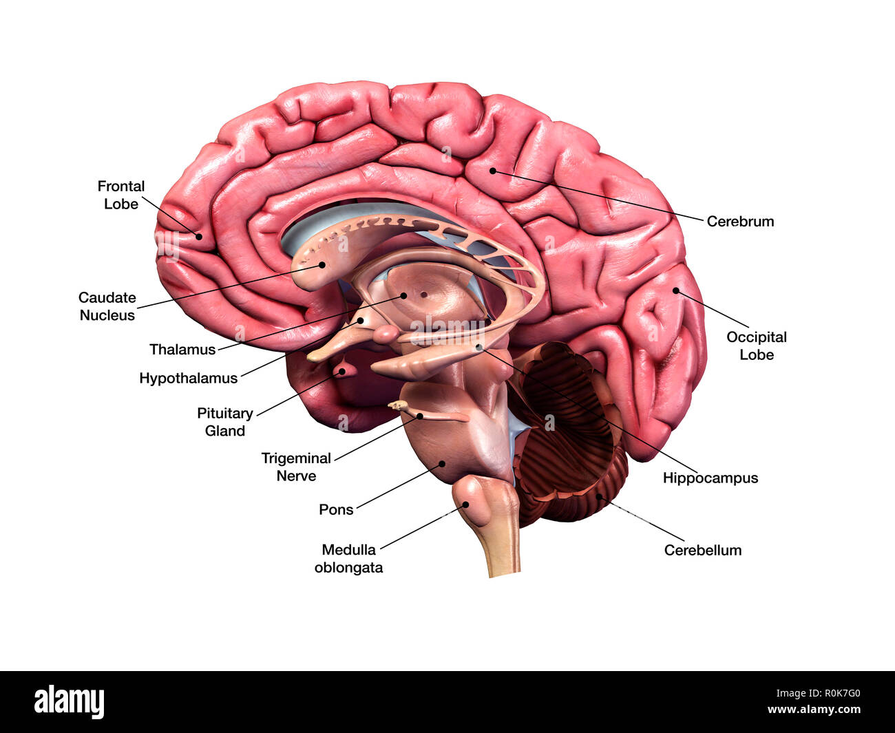 Human brain, sagittal section with labels. - Stock Image