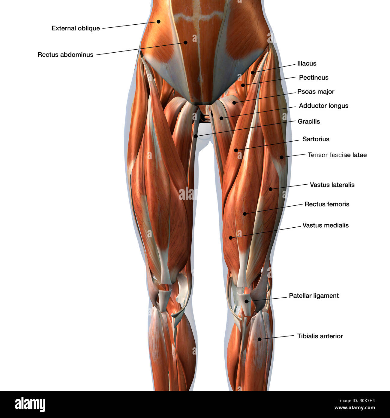 Adductor Longus Stock Photos Adductor Longus Stock Images Alamy