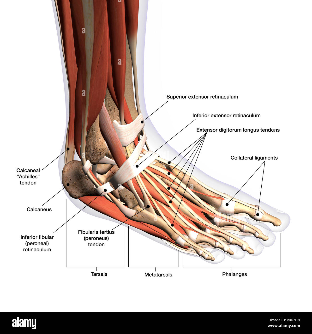 anatomy of human foot with labels stock photo - alamy  alamy