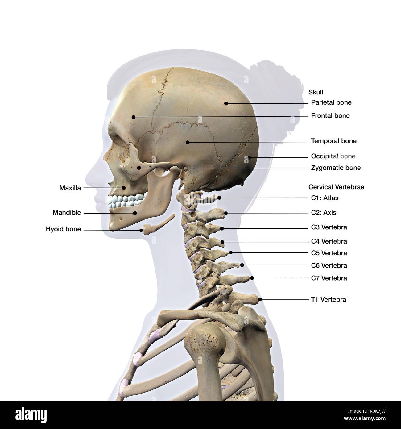 Hyoid Skeleton Stock Photos & Hyoid Skeleton Stock Images
