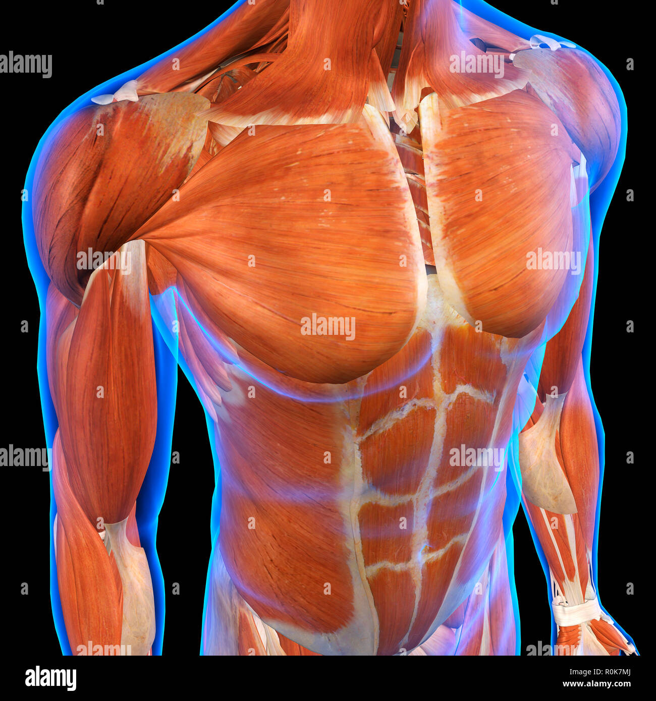 Front, three quarter view of a male chest and abdomen muscles. Stock Photo