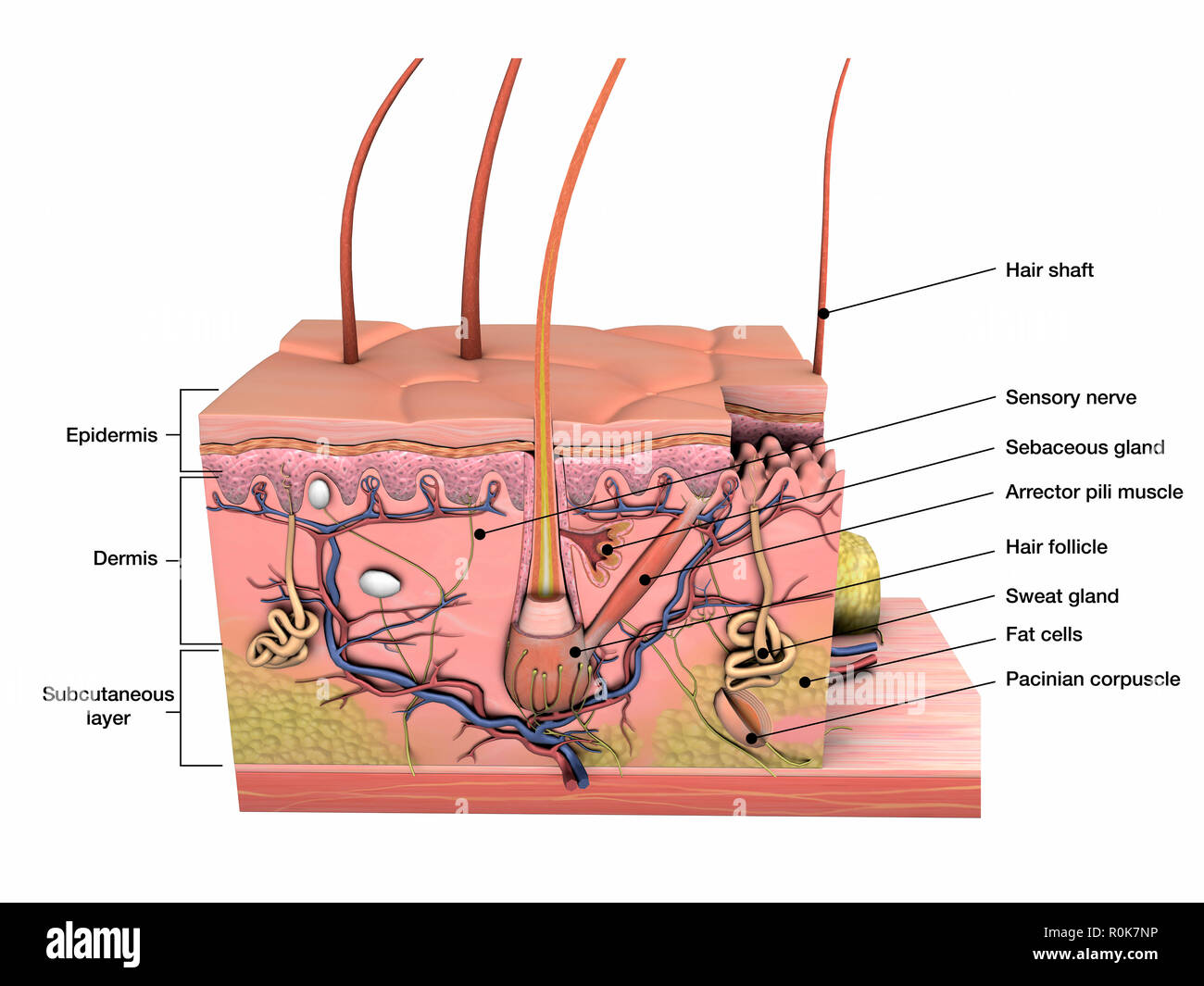 Anatomy of human skin with labels. - Stock Image