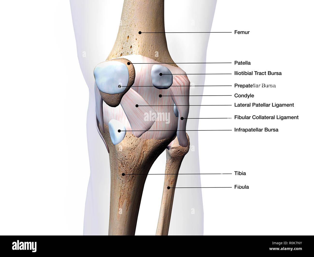 Knee Diagram To Label - Wiring Diagram Img