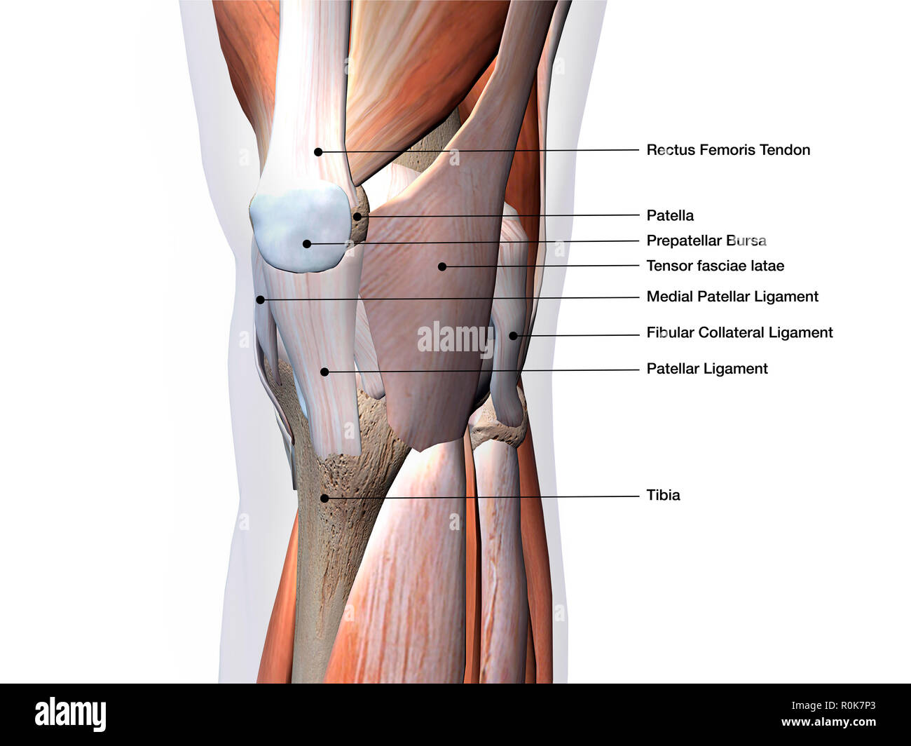 Medial Collateral Ligament Stock Photos Medial Collateral Ligament