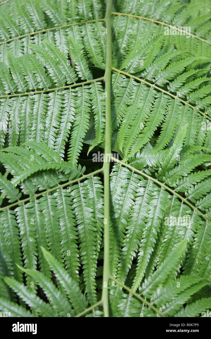Dicksonia sellowiana, Mexican Tree Fern, flawless, beautiful, stunning cultivated fronds and plants at the Lincoln Park Conservatory in Chicago, Illinois. - Stock Image