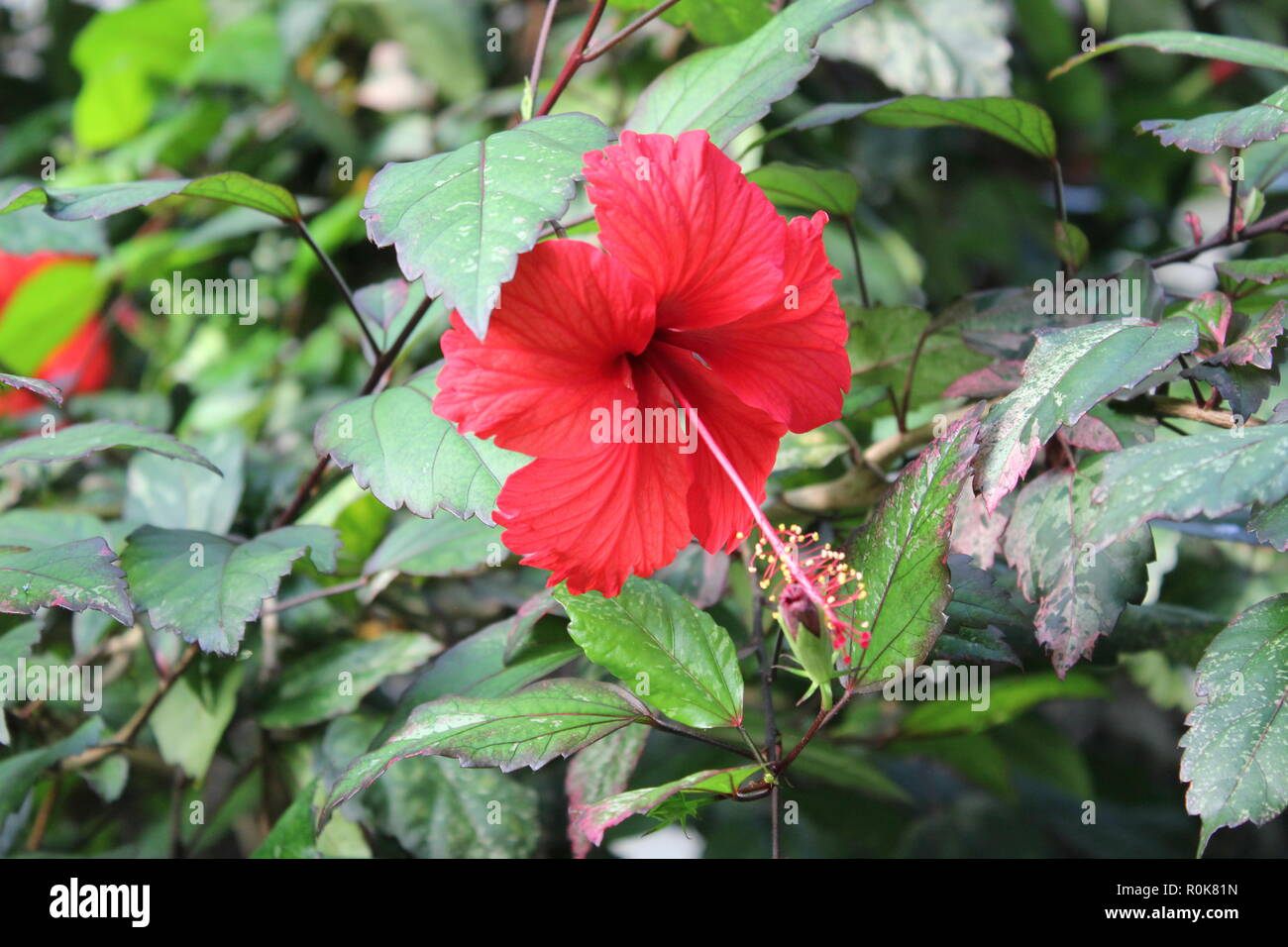 Brilliant Hibiscus Stock Photos Brilliant Hibiscus Stock Images