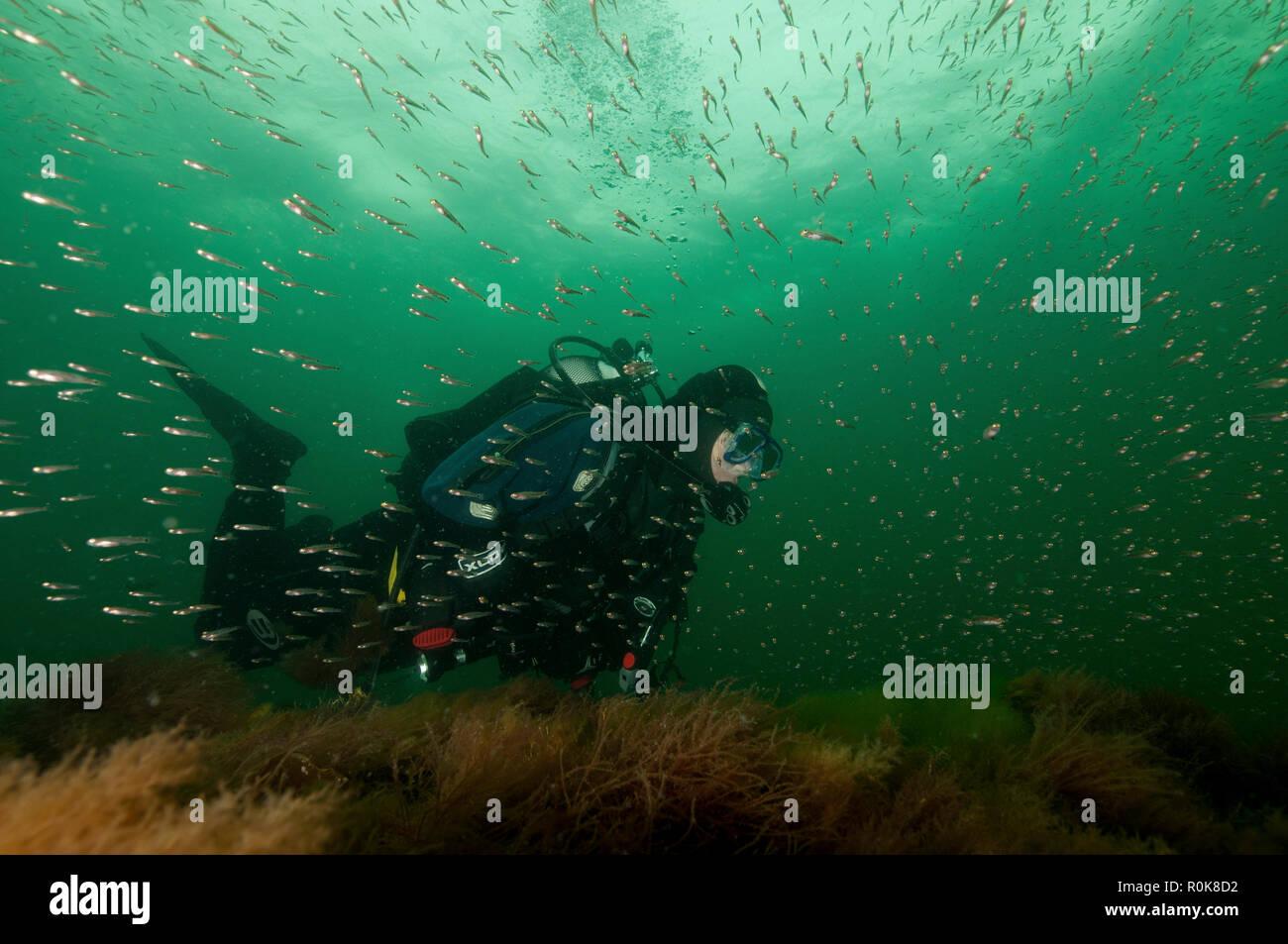 Juvenile fish and diver on wreck, Sjaelland shipwreck, Oresund, Denmark. - Stock Image