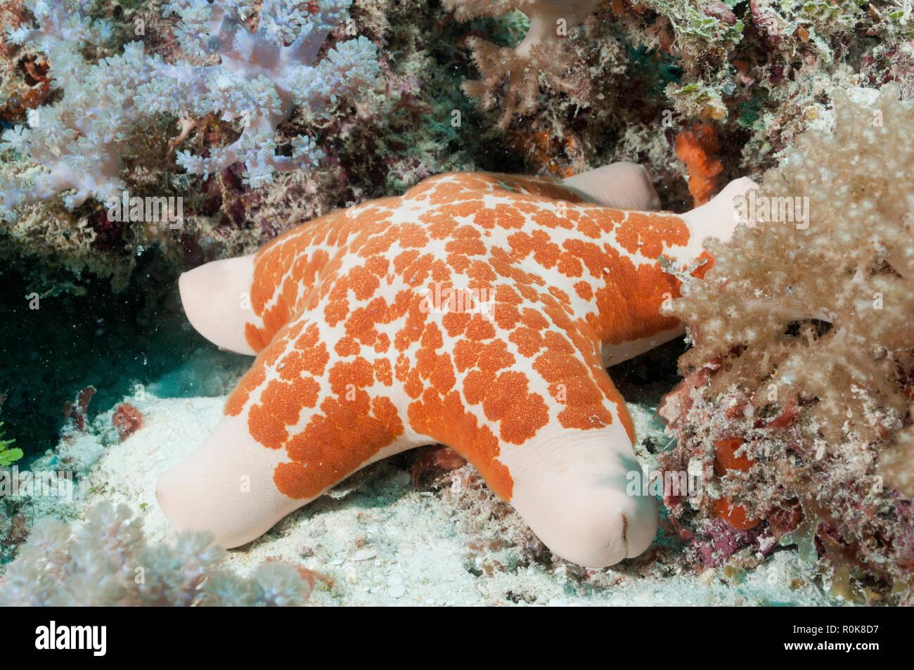 Starfish on top of healthy coral reef, Mnemba Atoll, Zanzibar, Tanzania. - Stock Image