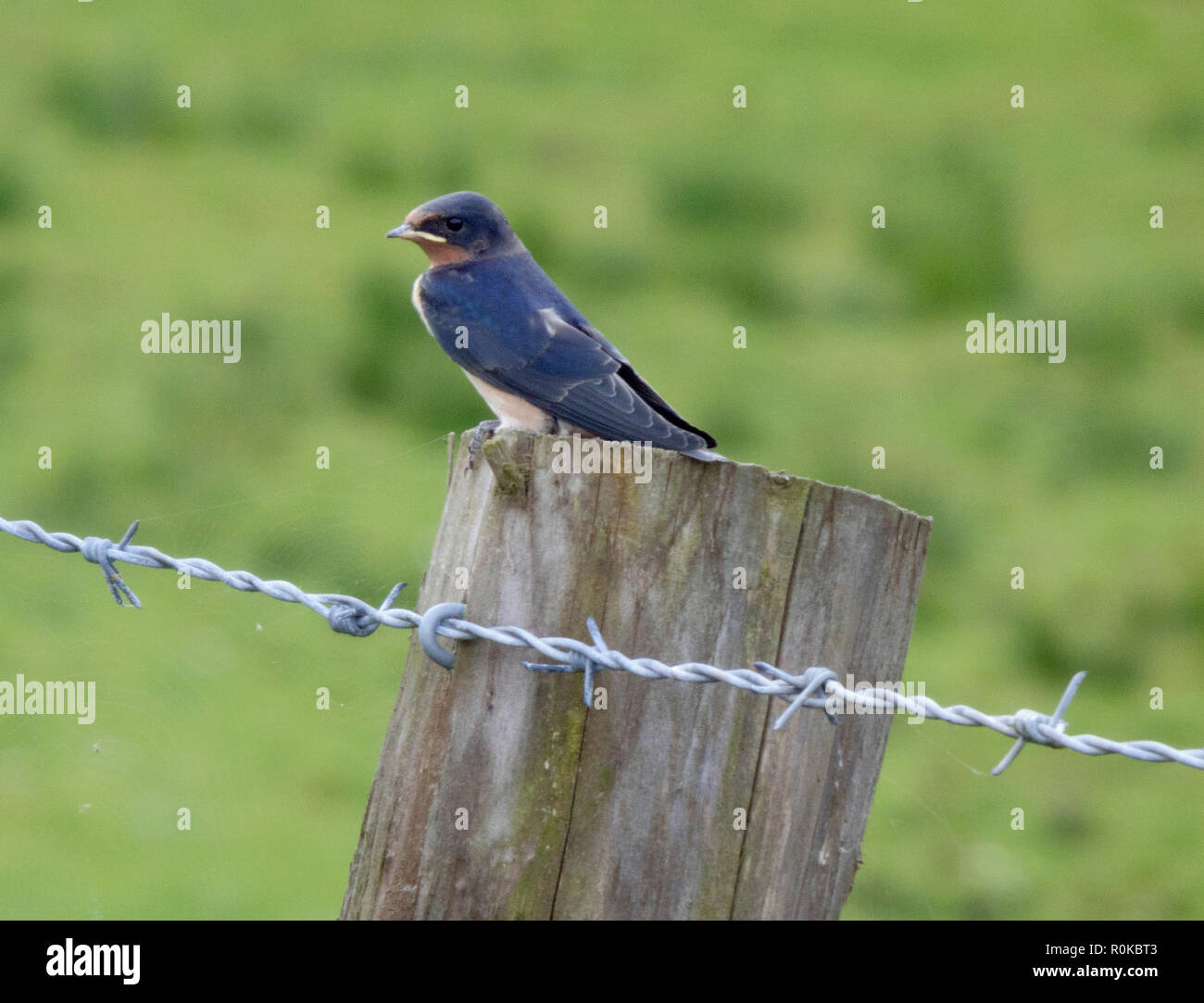 Barn Swalllow commonly know simply as Swallow ( Hirundo rustica ) Perched on a Fence Post, UK in August - Stock Image
