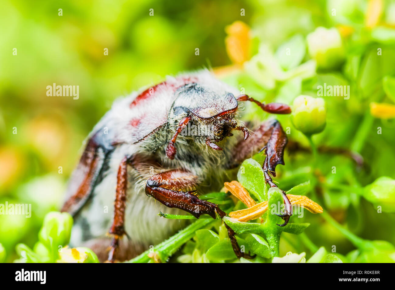 Cockchafer Melolontha May Beetle Bug Insect Macro - Stock Image