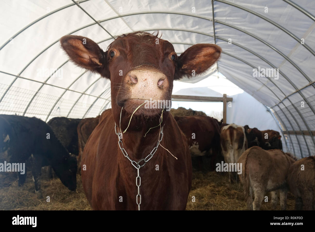 Portrait of a Brown Cow inside a Tent Standing on Top of Hay with Donkeys in the Background Stock Photo