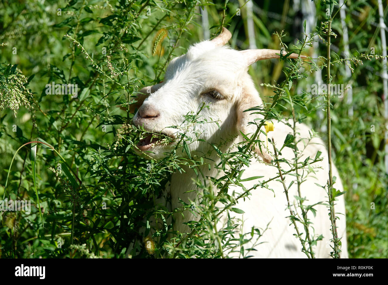 One White Goat Eating in the Woods Stock Photo