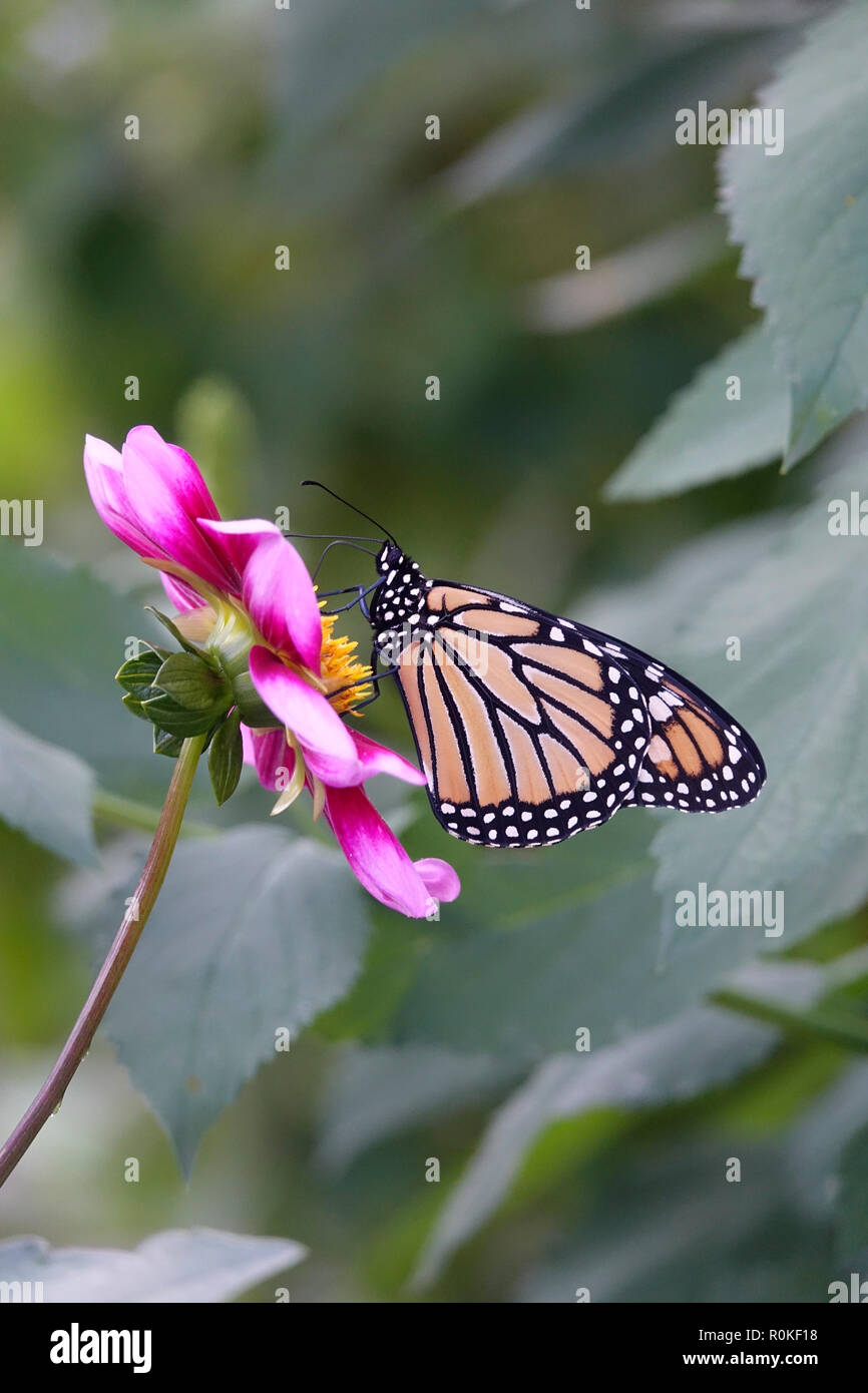Monarch Butterfly Pollenating a Pink Flower in a Garden of Daisies and Wildflowers Stock Photo