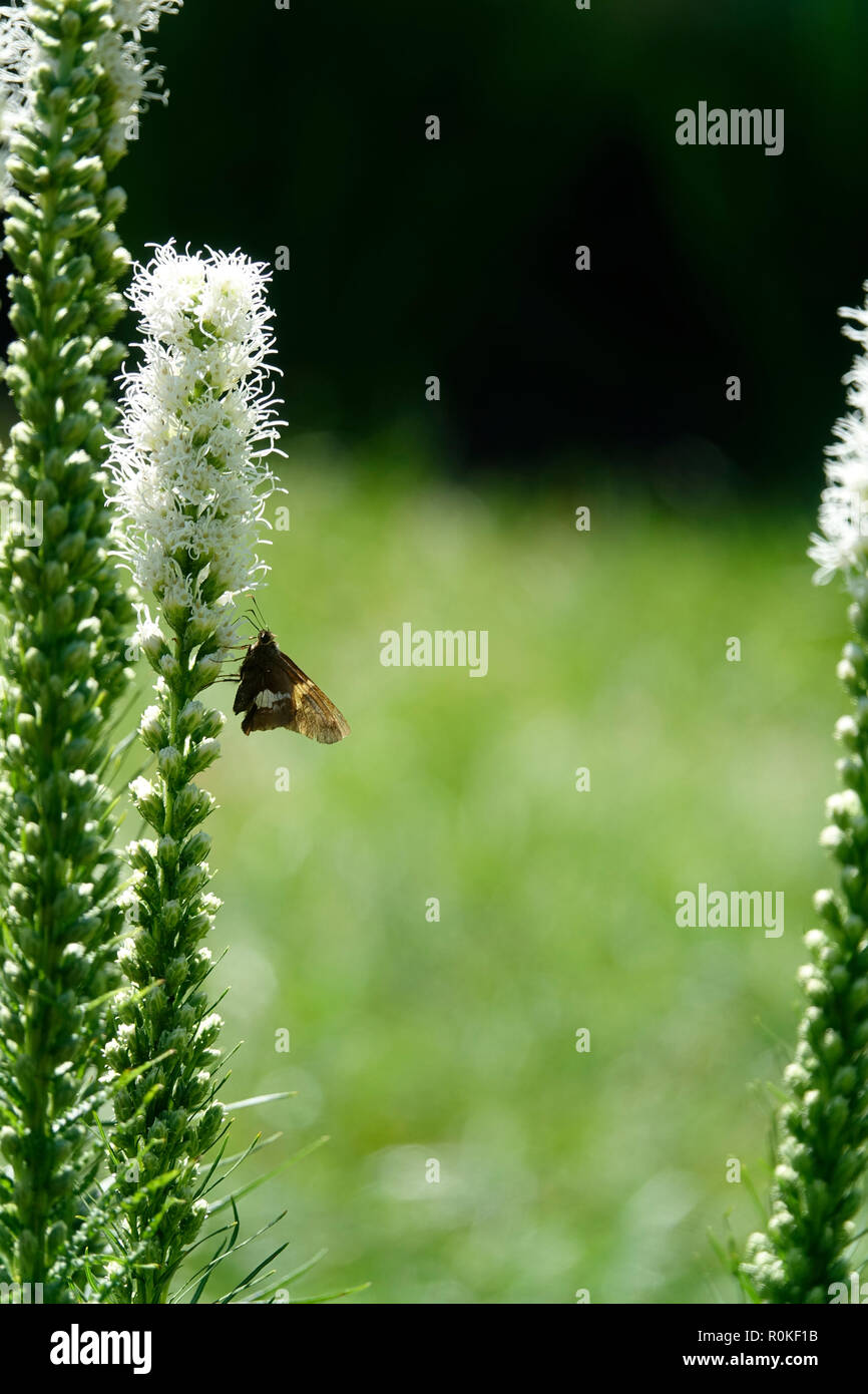 A Moth Fluttering in a Garden of White Flowers on a Sunny Day in Spring Stock Photo