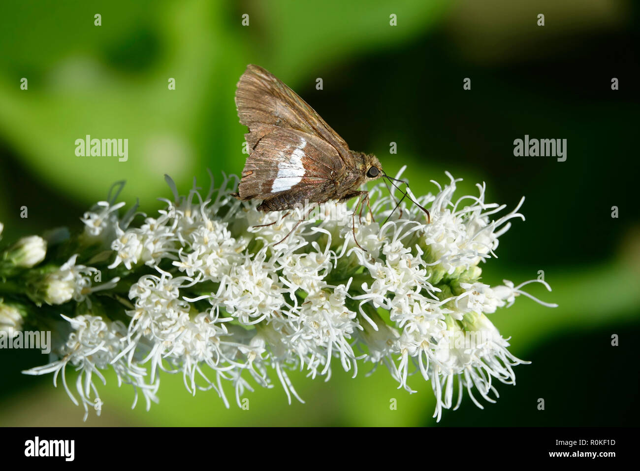 Moth On White Flower Stock Photos Moth On White Flower Stock