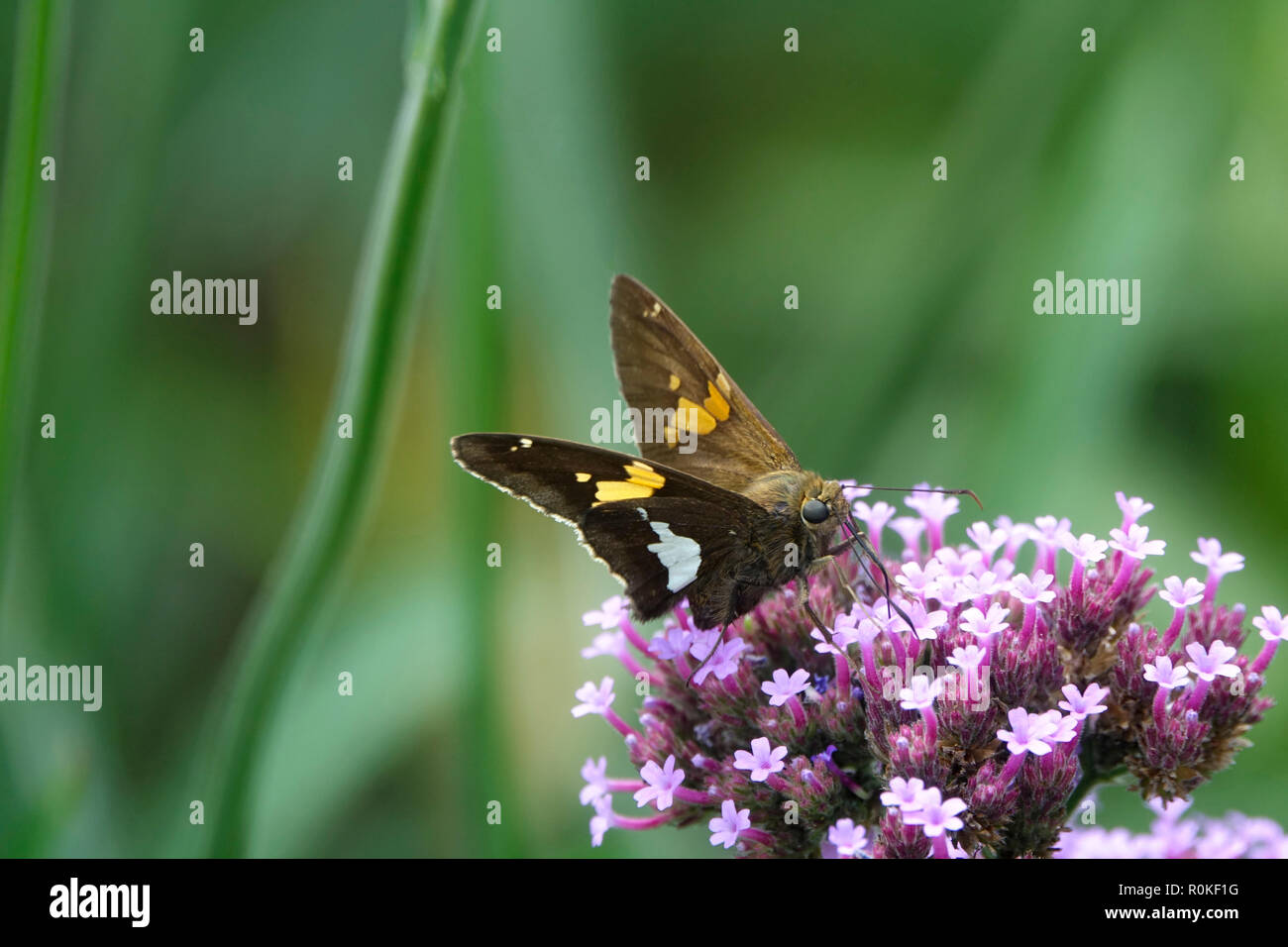 A Moth Fluttering in a Garden of Purple Flowers on a Sunny Day in Spring Stock Photo