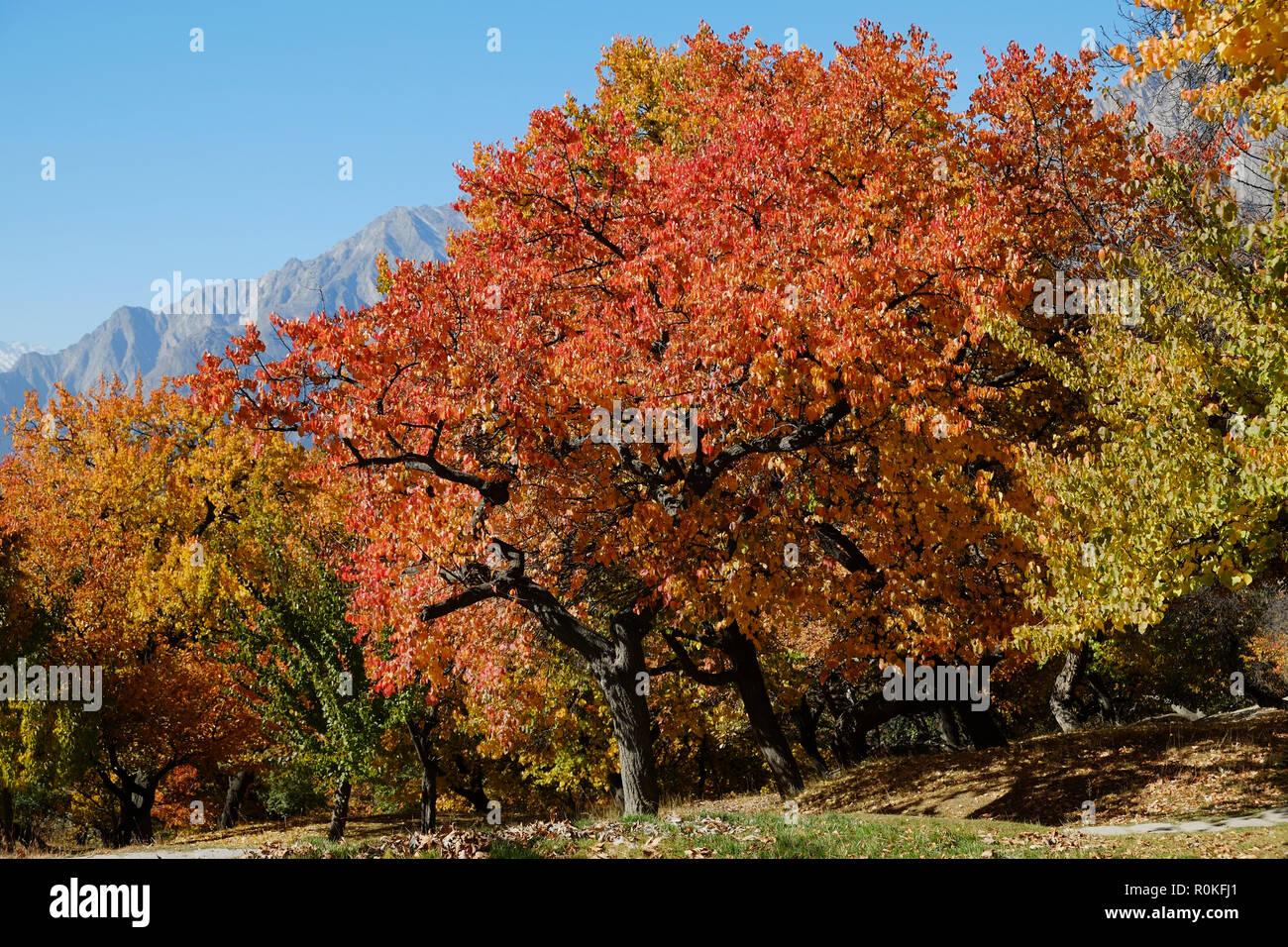 Colorful trees in autumn. Gilgit-Baltistan, Pakistan. - Stock Image