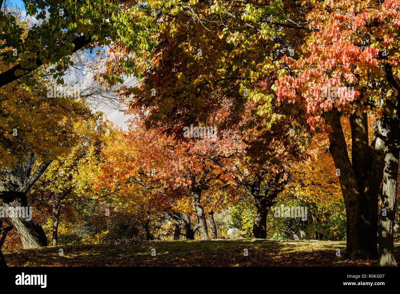 Colorful foliage in autumn, Altit royal garden, Gilgit-Baltistan, Pakistan. - Stock Image