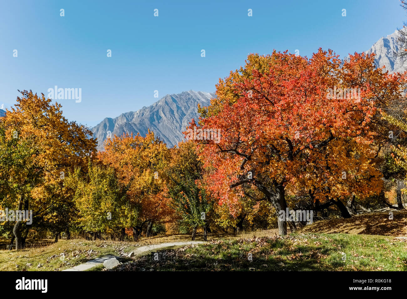 Colorful foliage in autumn with mountain and blue sky in the background. Altit royal garden, Gilgit-Baltistan, Pakistan. - Stock Image
