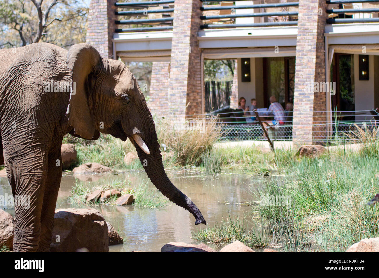 Elephant drinking outside accommodation at Kwa Maritane Lodge - Stock Image